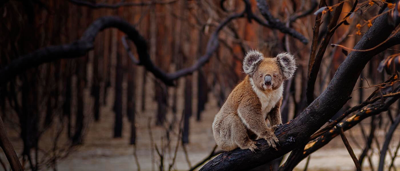 A koala on a burnt tree, Kangaroo Island © Julie Fletcher / WWF-Australia