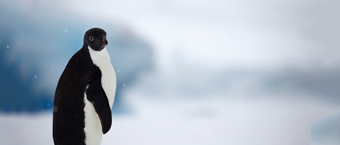 Adelie penguin, Antarctica © WWF-Aus / Chris Johnson