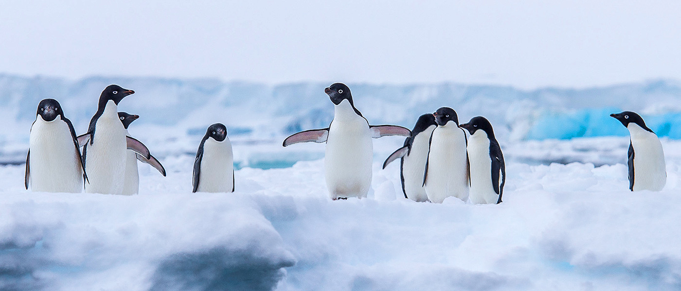 Adelie penguins colony, Antarctica © Brian Myers