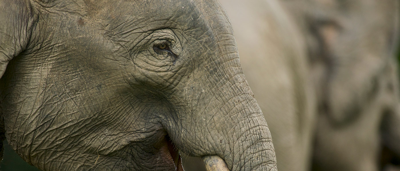 Close up of Borneo pygmy elephant (Elephaa maximus borneensis), Borneo © naturepl.com / Tim Laman / WWF