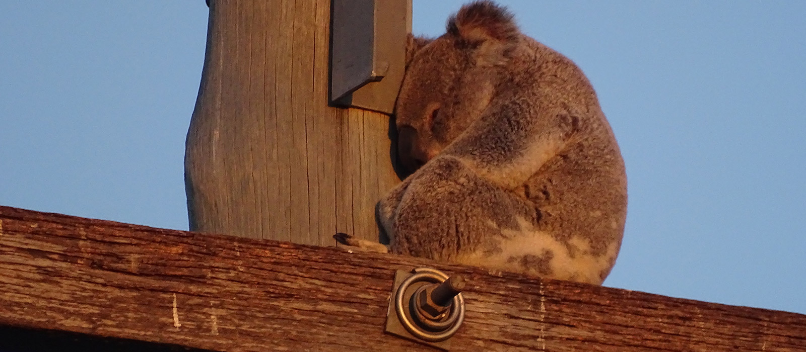 Koala taking refuge on a power pole, southeast Queensland © Clare Gover, Return to the Wild Inc. / WWF-Aus