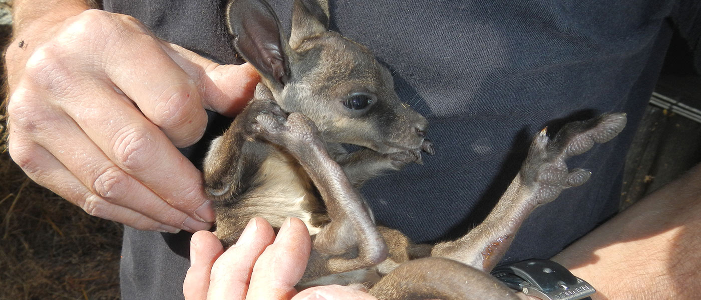 Black-flanked rock-wallaby joey being held, Western Australia © Richard McLellan / DBCA / WWF-Aus