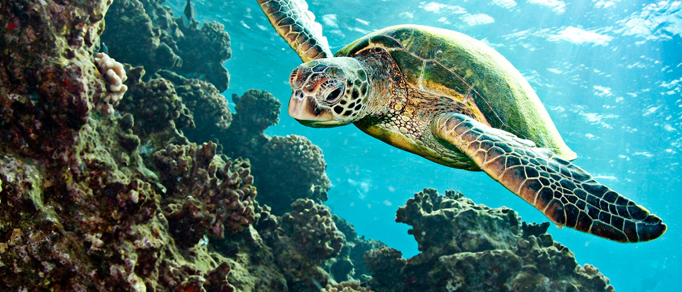 Green turtle (Chelonia mydas) swimming over coral © Istockphoto.com / WWF