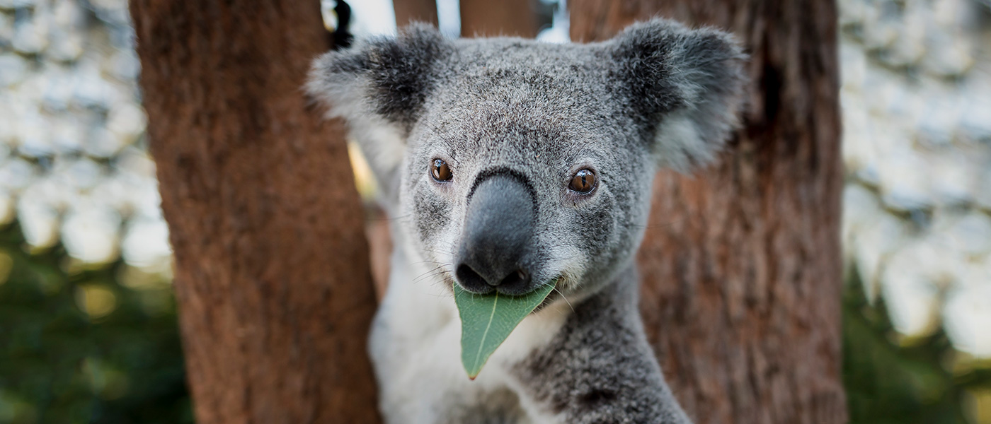 Portrait of Icarius an adult male koala (Phascolarctos cinereus) eating an Eucalyptus leaf at Return to the Wild Inc. Toowoomba, southeast Queensland  © Doug Gimesy / WWF-Aus