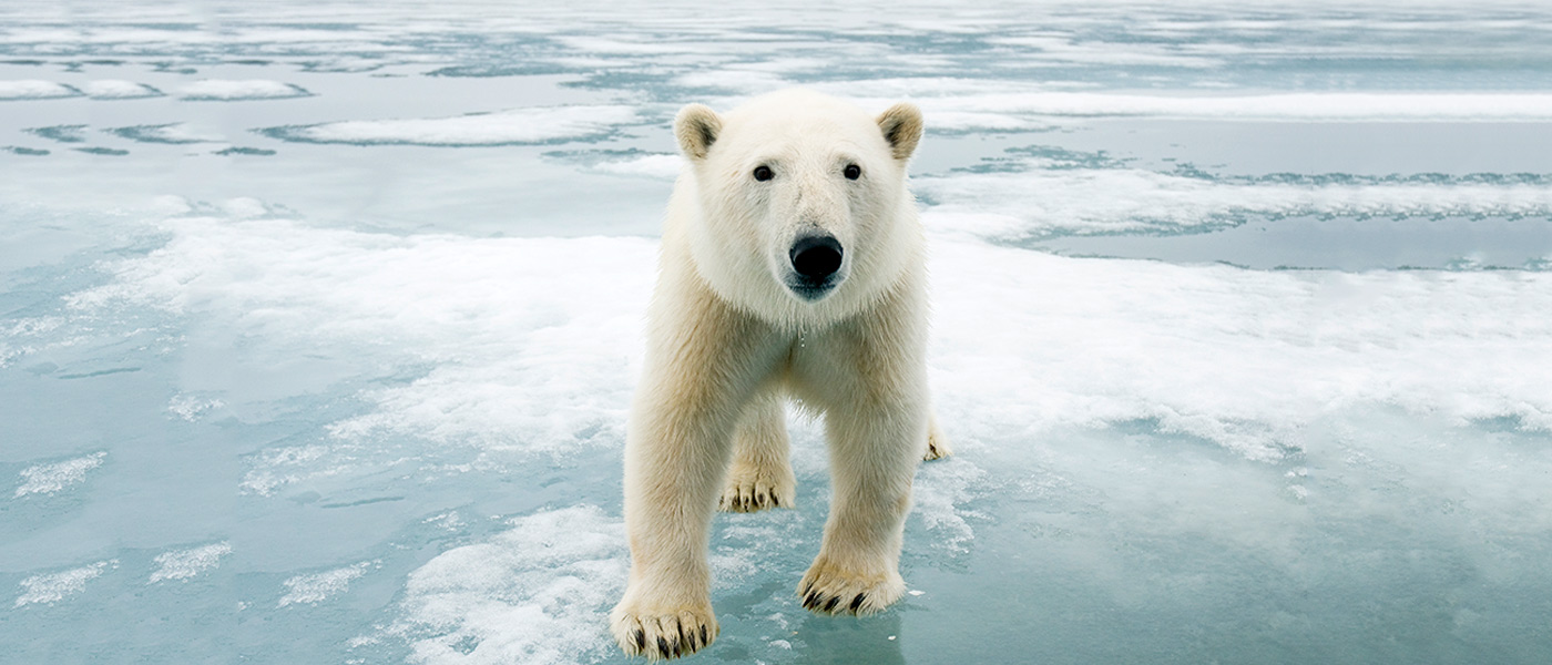 Polar bear on ice, Svalbard, Norway © naturepl.com / Steven Kazlowski / WWF
