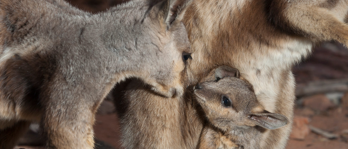 Black-flanked rock-wallaby (Petrogale lateralis) mum and joey kissing © naturepl.com / Roland Seitre / WWF