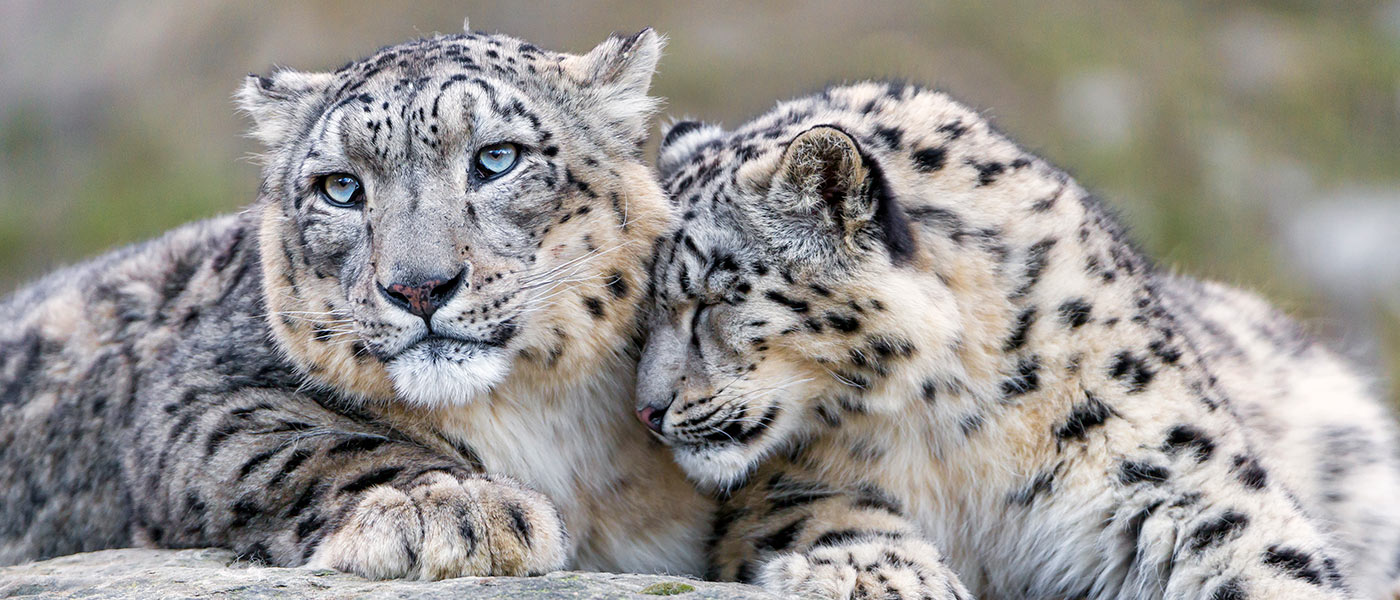 Snow leopard mum and cub © Tambako the Jaguar / WWF-Aus