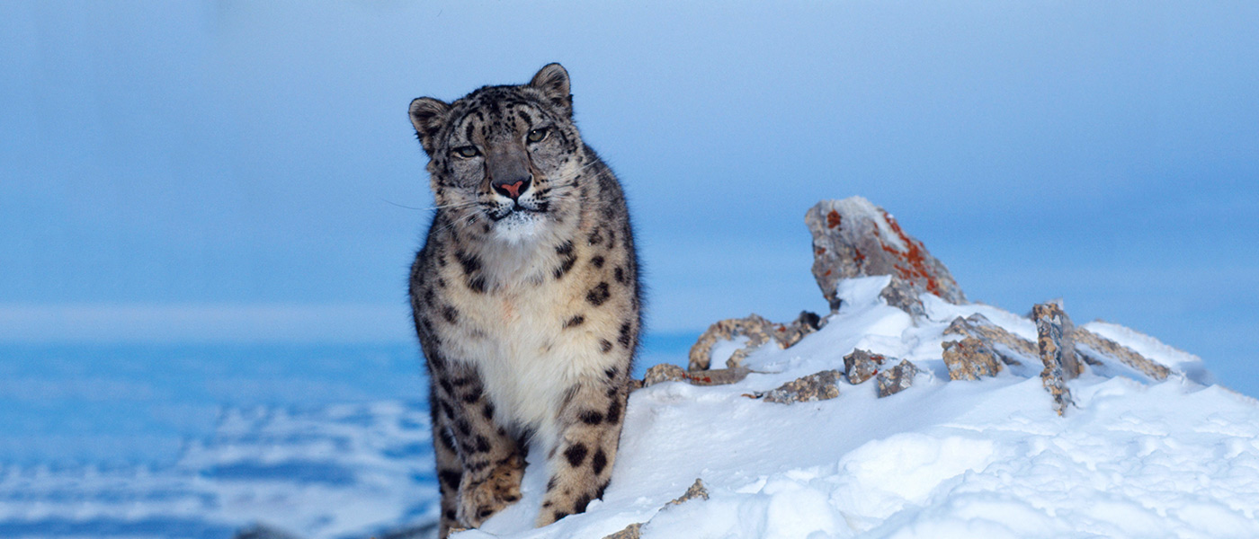 Snow leopard in snow © Klein & Hubert / WWF