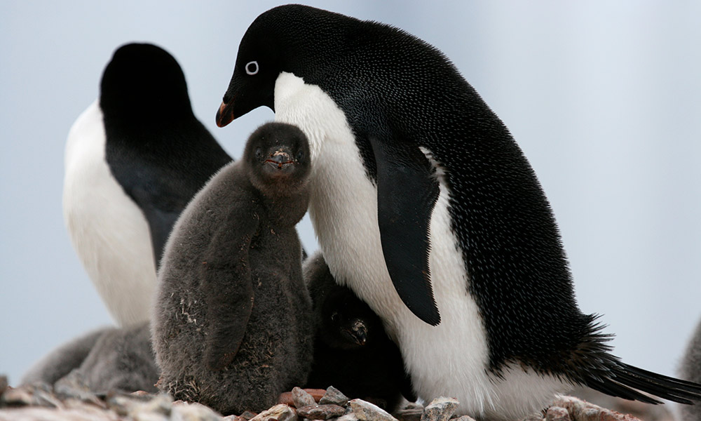Adult Adelie penguins (Pygoscelis adeliae) with chicks at their nesting site in Antarctica © Natalie Bowes / WWF-Canada