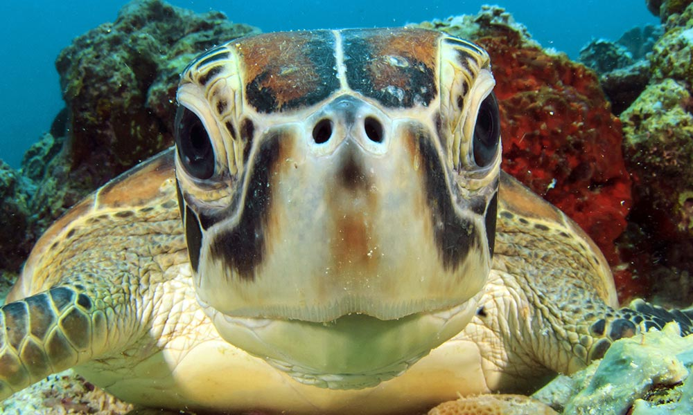 A close up of green turtle (Chelonia mydas) © Shutterstock / Rich Carey / WWF-Sweden
