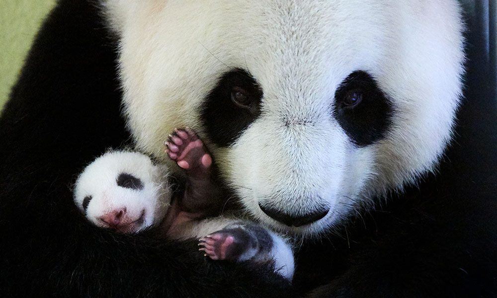 panda adoption - charity donations and appeals