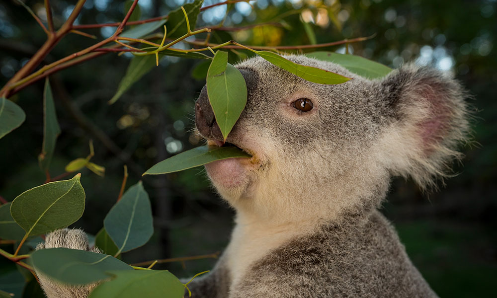 Adult male koala (Phascolarctos cinereus) eating Eucalyptus leaves at Return to the Wild Inc. Toowoomba, southeast Queensland © Doug Gimesy / WWF-Aus