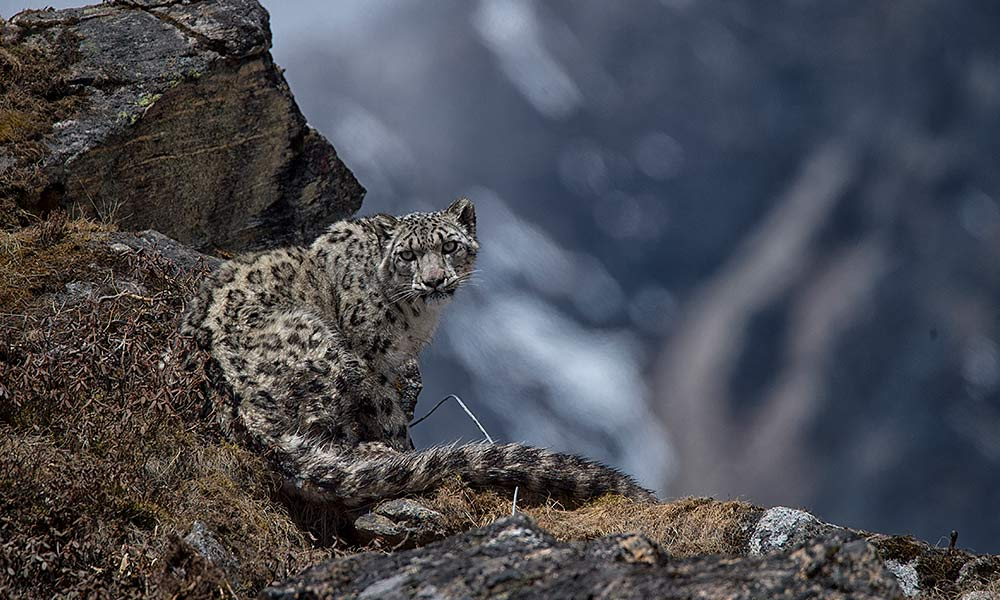 Yalung, the fourth snow leopard collared in Kangchenjunga Conservation Area on 8 May 2017, Nepal © Sanjog Rai / WWF-Nepal