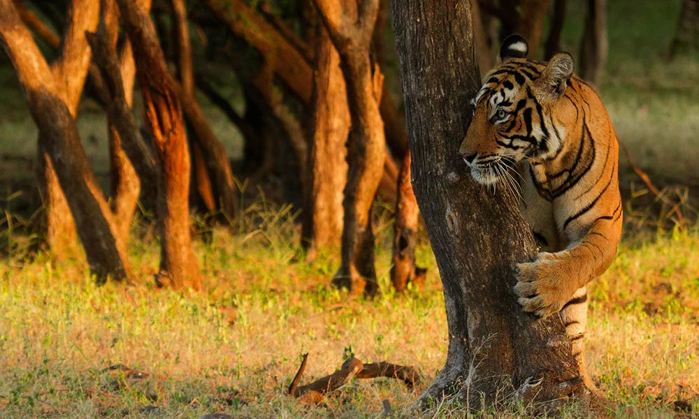 Tiger among trees, Ranthambore National Park, India © Souvik Kundu / WWF