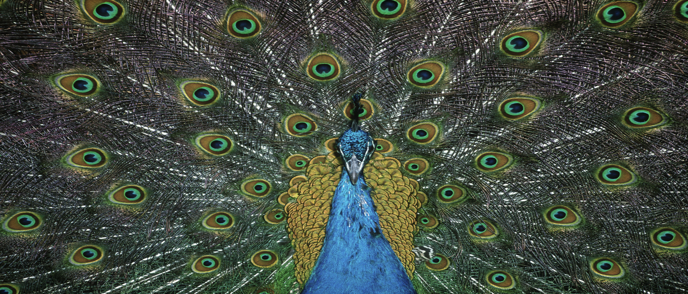 Peafowl © Martin Harvey /WWF