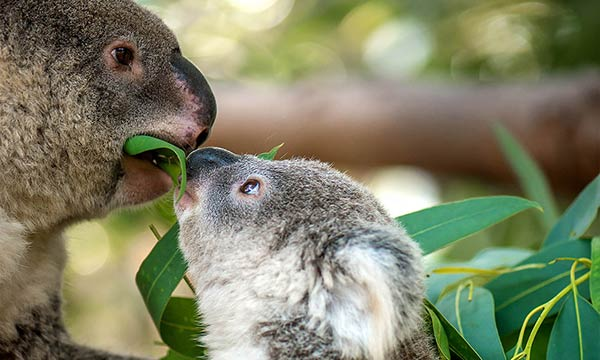 img-koala-feeding-leaf-to-joey-1000px